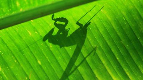 Praying Mantis Live Action