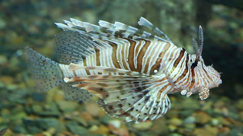 Lionfish Zebrafish Underwater stock footage