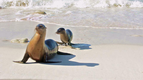 Galapagos Sea Lion Mother And Pup On Genovesa Isla stock footage