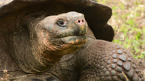 Close up of an endemic Galapagos Giant Tortoise st Live Action