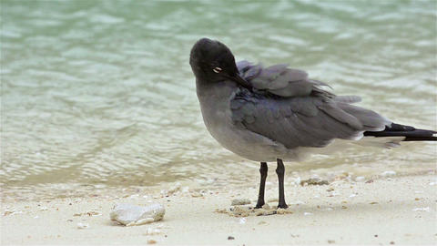 A endemic rare Lava gull on Genovesa Island in Gal Live Action