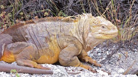 Galapagos Land Iguana on Cerro Dragon on Santa Cru Footage