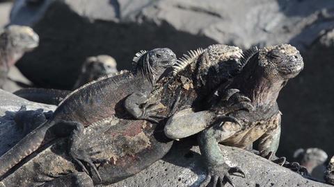 Marine iguanas snorting on Punta Suarez on Espanol Footage