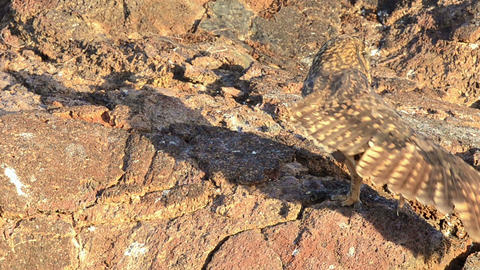 Endemic Galapagos Short-eared Owl stretching its w Footage