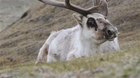 Svalbard Reindeer, Rangifer tarandus platyrhynchus Footage