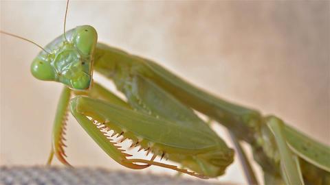 Female California Mantis, Stagmomantis californica Footage