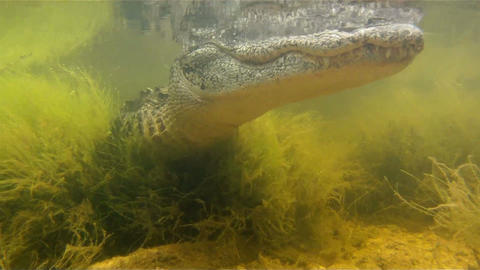 An amazing shot of an alligator swimming underwate Footage