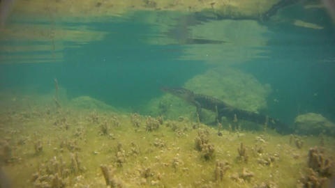 An alligator swims underwater Footage
