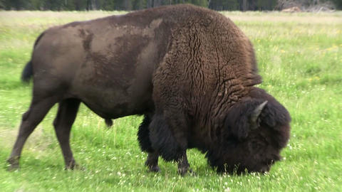 A bison forages in grasslands Footage