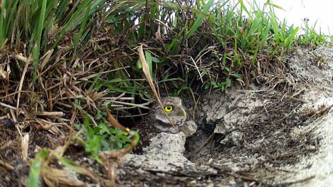 A burrowing owl emerges from it's nest and looks a Footage