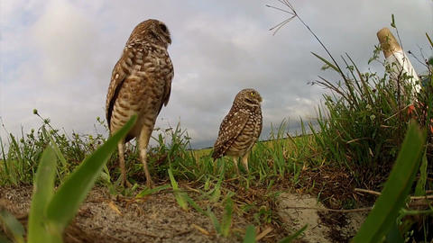 Two burrowing owls guard their nest Footage