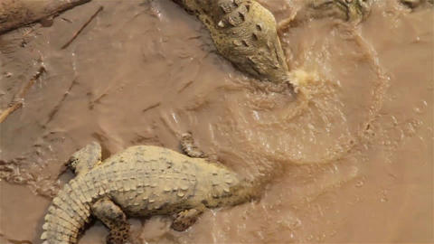 Crocodiles wallow in the mud in Costa Rica Footage
