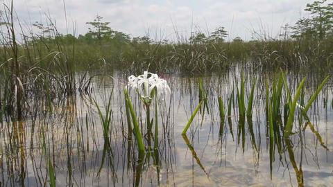 A lily grows in a swamp in the Florida Everglades Footage