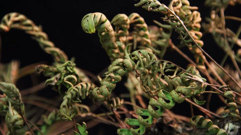 A time lapse shot of ferns unfolding against a bla Footage