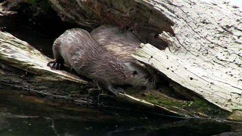 River otters play along the shore Footage