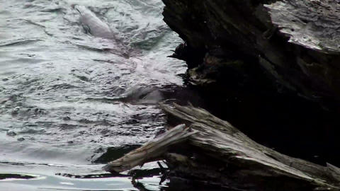 An otter swims in a river Footage