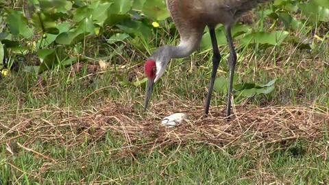 A sandhill crane wanders in a field Footage