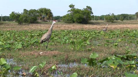 A sandhill crane calls out Footage