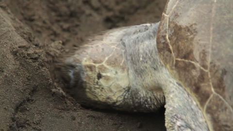 A sea turtle digs in the sand while laying eggs Footage