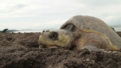 Medium shot of the face of a sea turtle on a beach Footage
