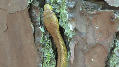A yellow rat snake slithers through rocks in the F Footage