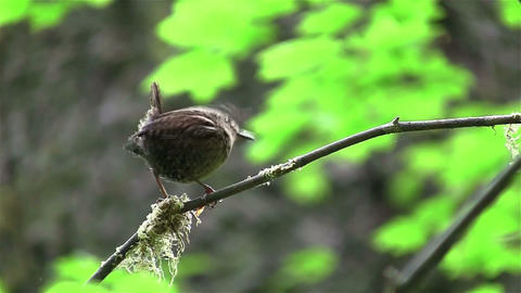 A wren sits on a tree branch Footage