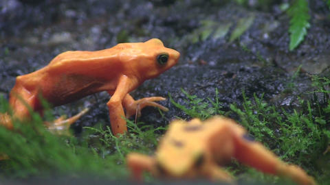 Beautiful orange frogs in the rainforest Footage
