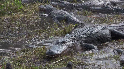 Multiple alligators slither and fight in a swamp Footage