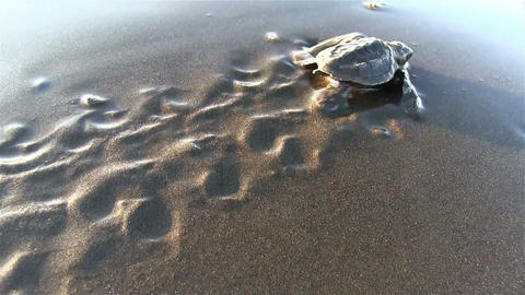 Baby sea turtles struggle to the ocean to safety Footage