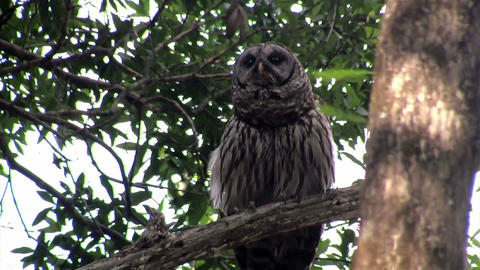 A barred owl calls out from a tree Live Action