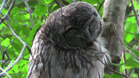 A barred owl preens himself from a perch in a tree Footage