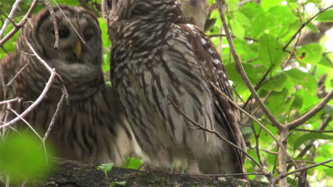 Two barred owls kiss in a tree Footage