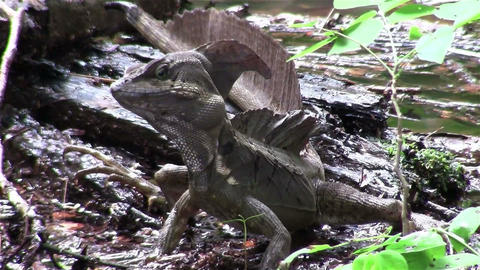 A basilisk lizard observes its surrounding Footage