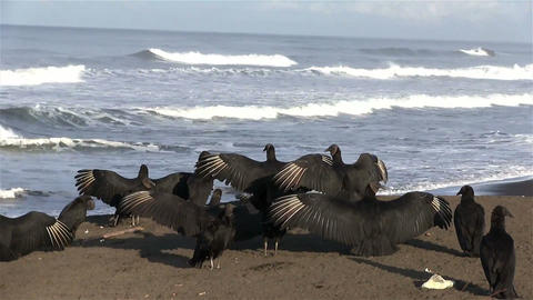 Black vultures spread their wings in front of the  Footage