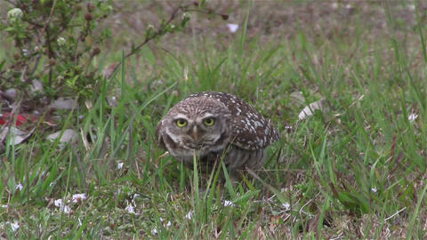 A burrowing owl looks around Footage