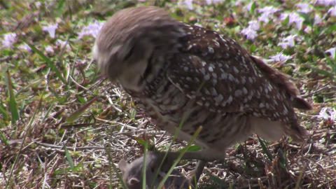 A burrowing owl looks around and eats its prey Footage