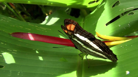 A butterfly spreads its wings on a green leaf Footage