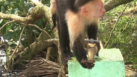 A capuchin monkey drinks from a water fountain Footage