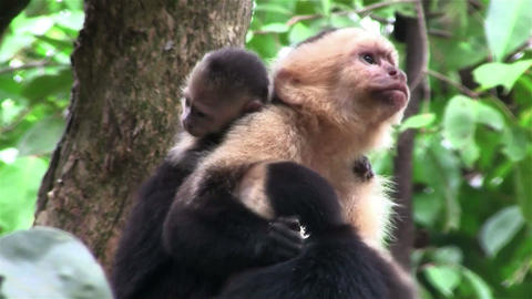 A capuchin monkey with baby looks around Footage