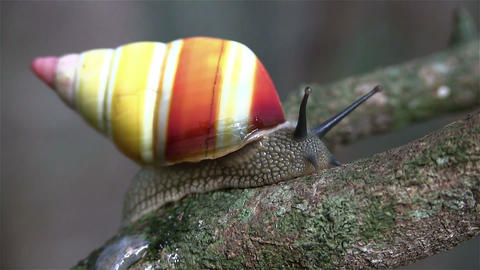 A tree snail moves along a branch Footage