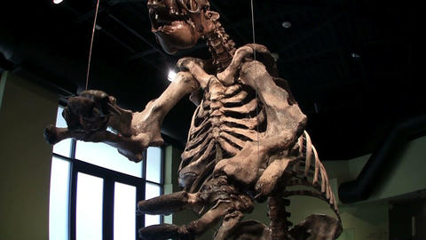 A dinosaur stands in a museum display Footage