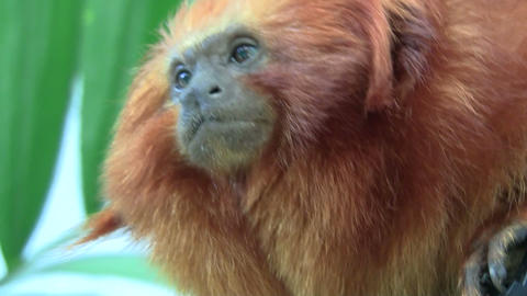 A lion tamarin sits in a tree Footage