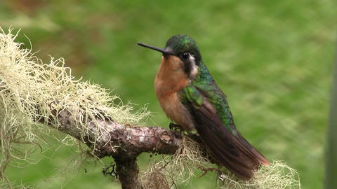 A red breasted and green hummingbird flies of a br Footage