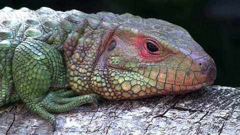 A colorful lizard or iguana opens its eyes Footage