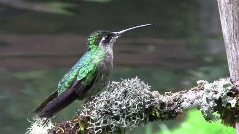 A female magnificent hummingbird Footage
