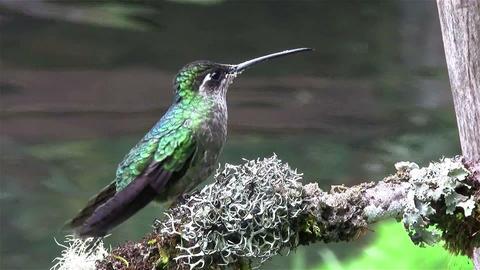 A female magnificent hummingbird Footage