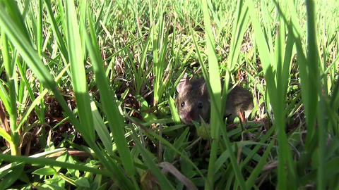 A small mouse walks in green vegetation Footage