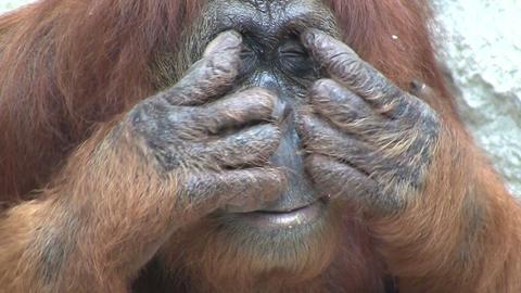 An orangutan looks around Footage