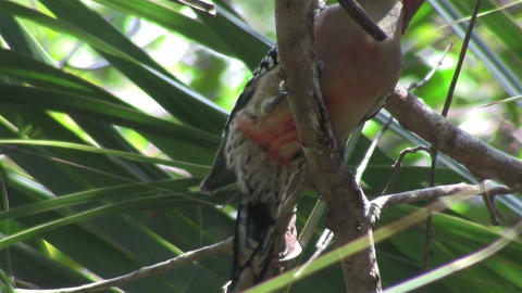A red bellied woodpecker in a forest Footage