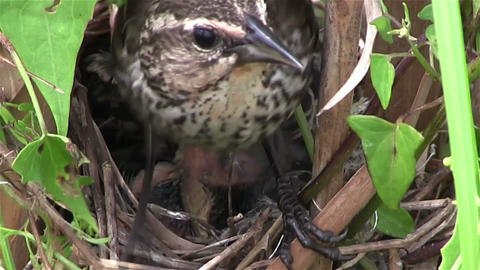 Baby birds in a nest open their mouths for food Footage